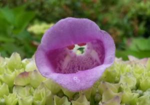 Roter Fingerhut auf Blütendolde der blauben Hortensie